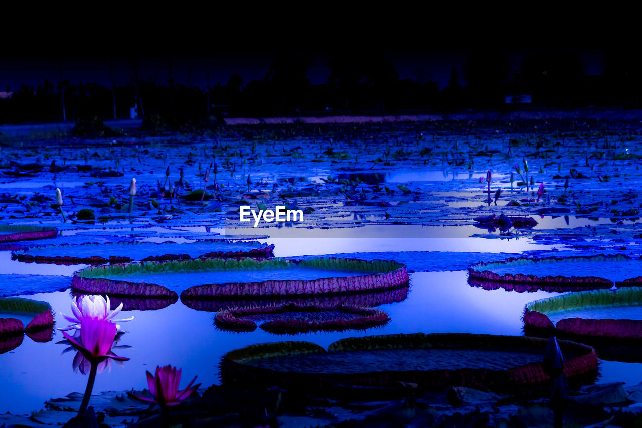 water, reflection, lake, beauty in nature, nature, tranquility, plant, scenics - nature, no people, tranquil scene, flower, water lily, outdoors, night, floating, growth, purple, idyllic, floating on water