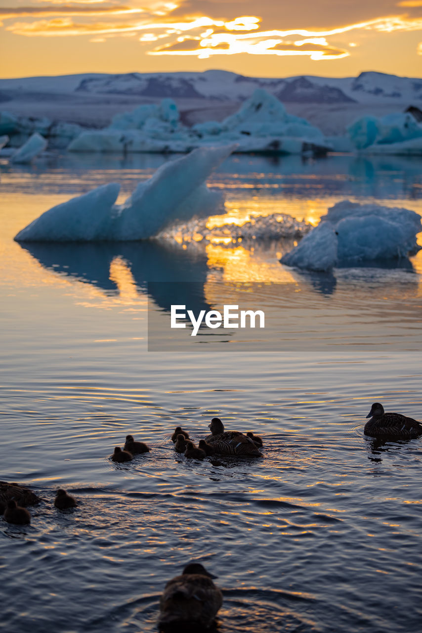 water, sunset, group of animals, swimming, sky, animal wildlife, animals in the wild, waterfront, lake, beauty in nature, animal themes, animal, no people, nature, bird, scenics - nature, vertebrate, cold temperature, outdoors, ice, floating on water