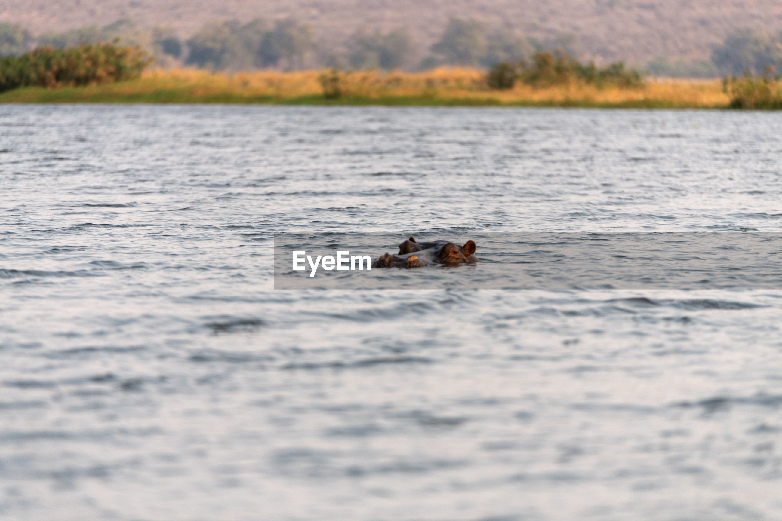 View of hippo swimming in lake