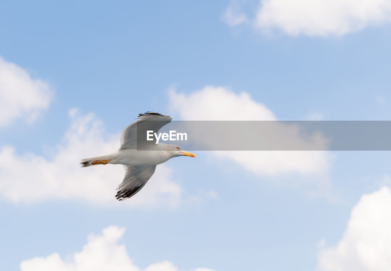 sky, animals in the wild, animal themes, bird, vertebrate, cloud - sky, one animal, animal wildlife, animal, low angle view, flying, spread wings, white color, mid-air, day, no people, nature, seagull, motion, beauty in nature, outdoors