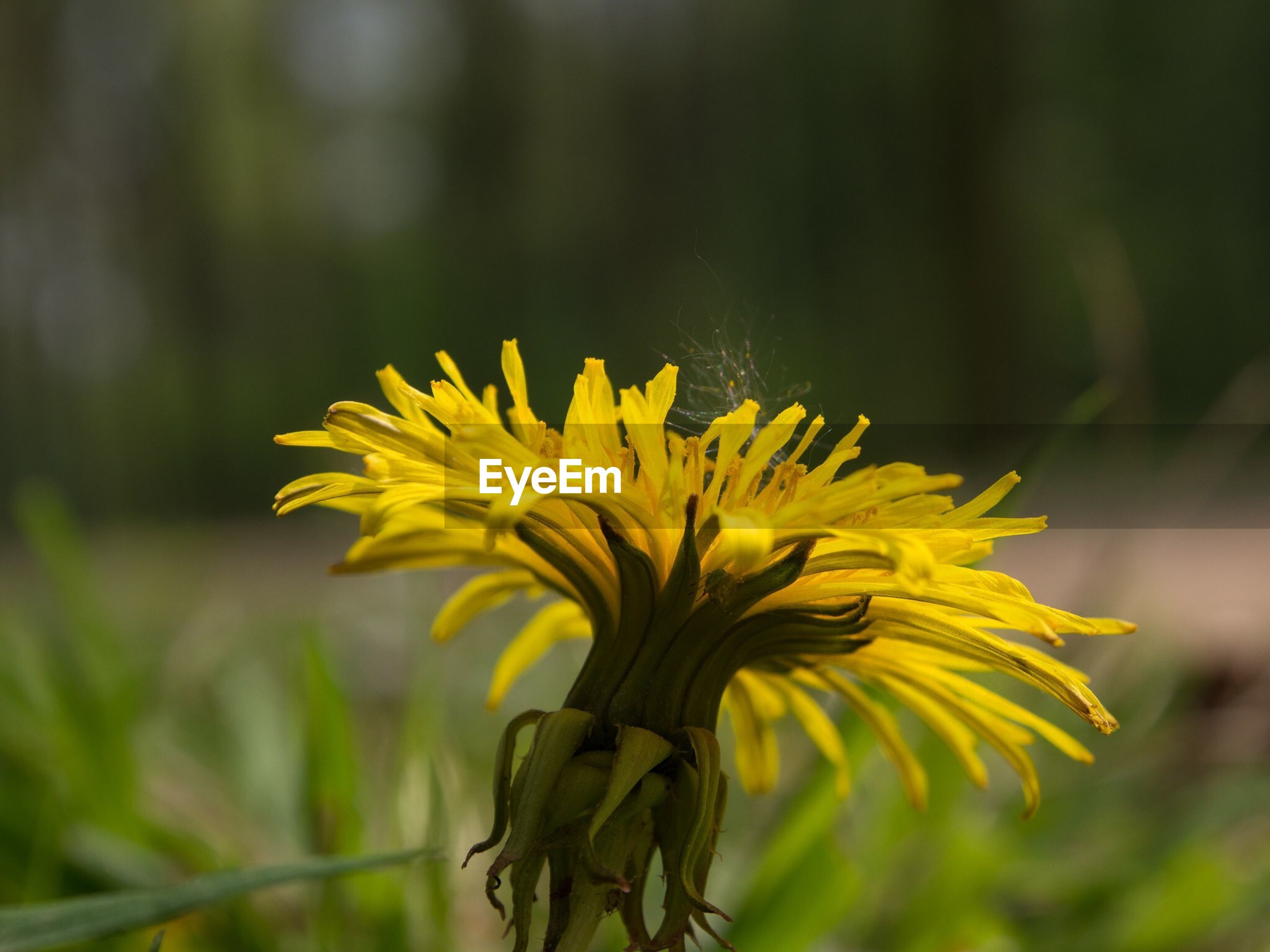 flower, yellow, freshness, fragility, focus on foreground, growth, petal, close-up, flower head, beauty in nature, nature, plant, stem, blooming, single flower, field, in bloom, selective focus, botany, day