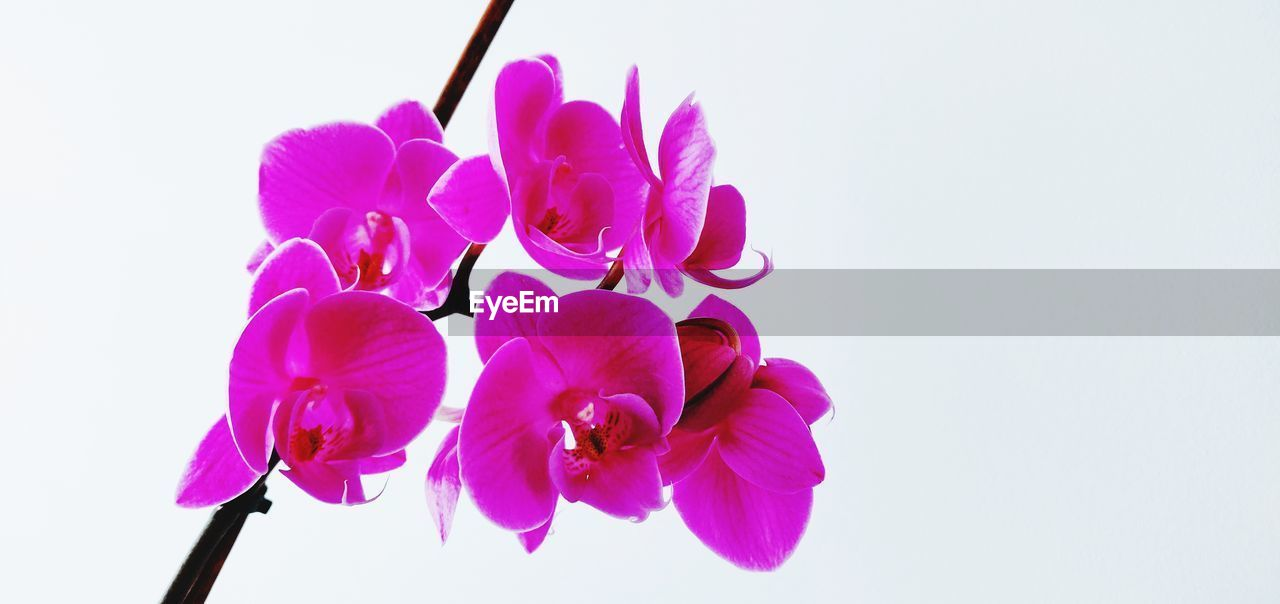 flowering plant, flower, freshness, vulnerability, fragility, studio shot, beauty in nature, plant, white background, petal, close-up, flower head, inflorescence, copy space, pink color, no people, nature, growth, indoors, purple, softness