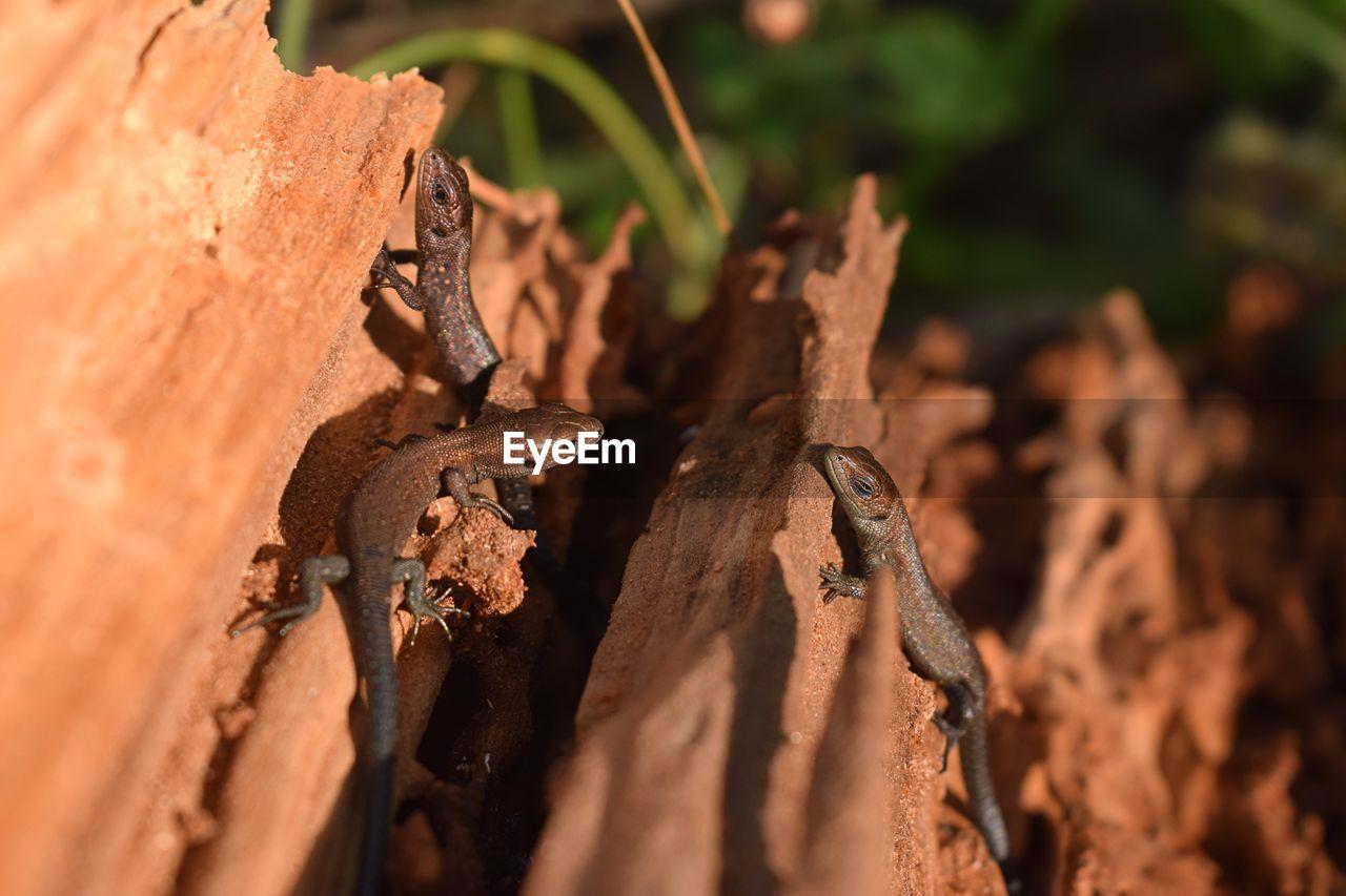View of chameleons on bark of trees