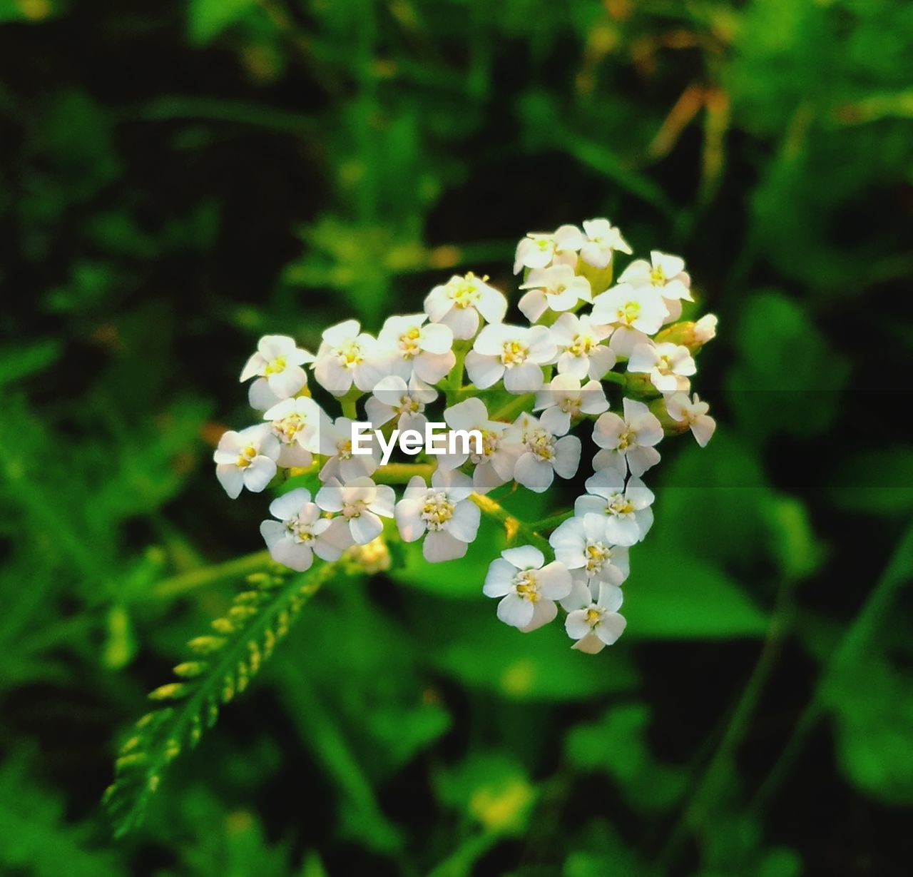 flower, vulnerability, plant, fragility, beauty in nature, freshness, flowering plant, growth, close-up, petal, day, flower head, no people, nature, inflorescence, selective focus, green color, white color, focus on foreground, outdoors, lantana