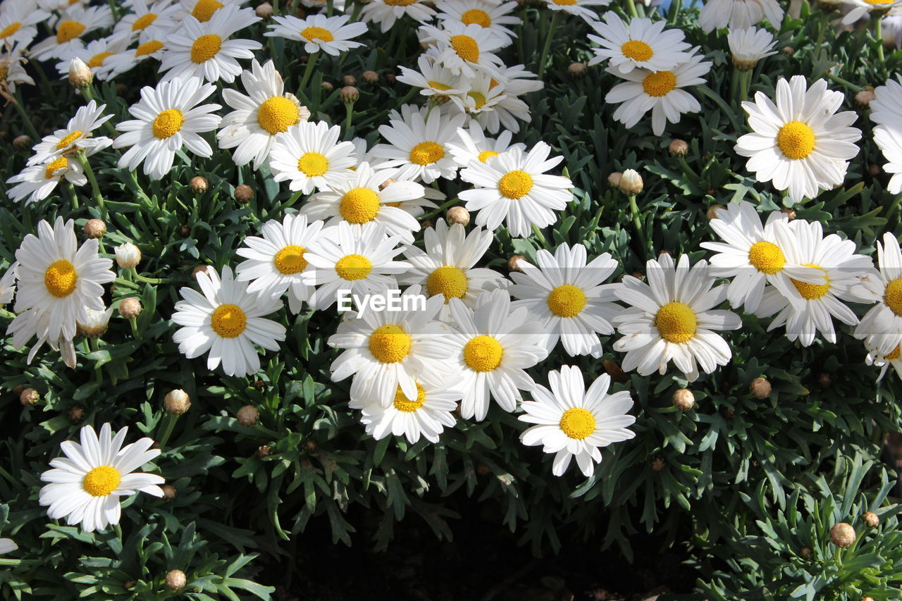 flowering plant, flower, freshness, fragility, vulnerability, petal, plant, beauty in nature, growth, flower head, inflorescence, close-up, yellow, nature, day, daisy, white color, high angle view, no people, field, outdoors, pollen, springtime, flowerbed