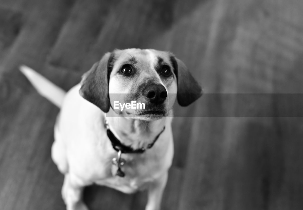 dog, canine, one animal, pets, domestic, domestic animals, mammal, portrait, no people, vertebrate, looking at camera, focus on foreground, high angle view, close-up, day, looking, animal body part, mouth open