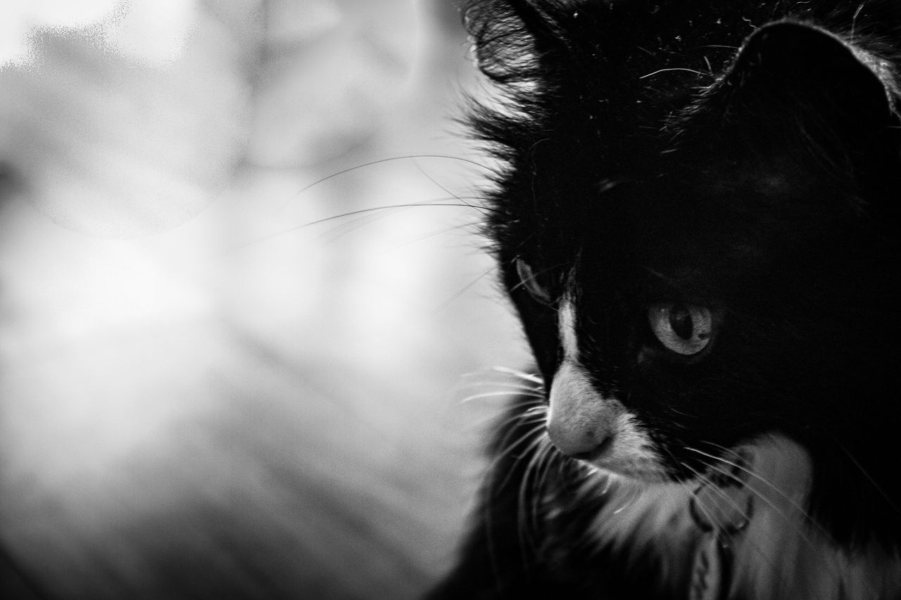 one animal, mammal, animal themes, pets, domestic animals, domestic, animal, vertebrate, cat, close-up, domestic cat, feline, looking, focus on foreground, animal body part, looking away, whisker, no people, indoors, animal head, animal eye
