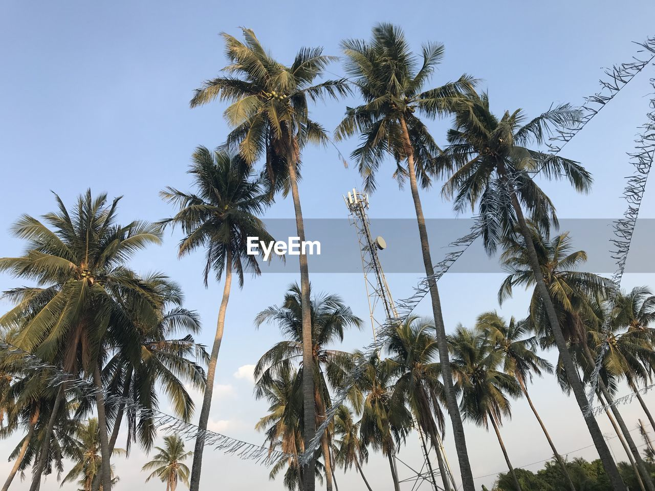 palm tree, tropical climate, sky, tree, plant, low angle view, tall - high, coconut palm tree, growth, tree trunk, no people, trunk, clear sky, nature, beauty in nature, tropical tree, tranquility, day, outdoors, scenics - nature, palm leaf