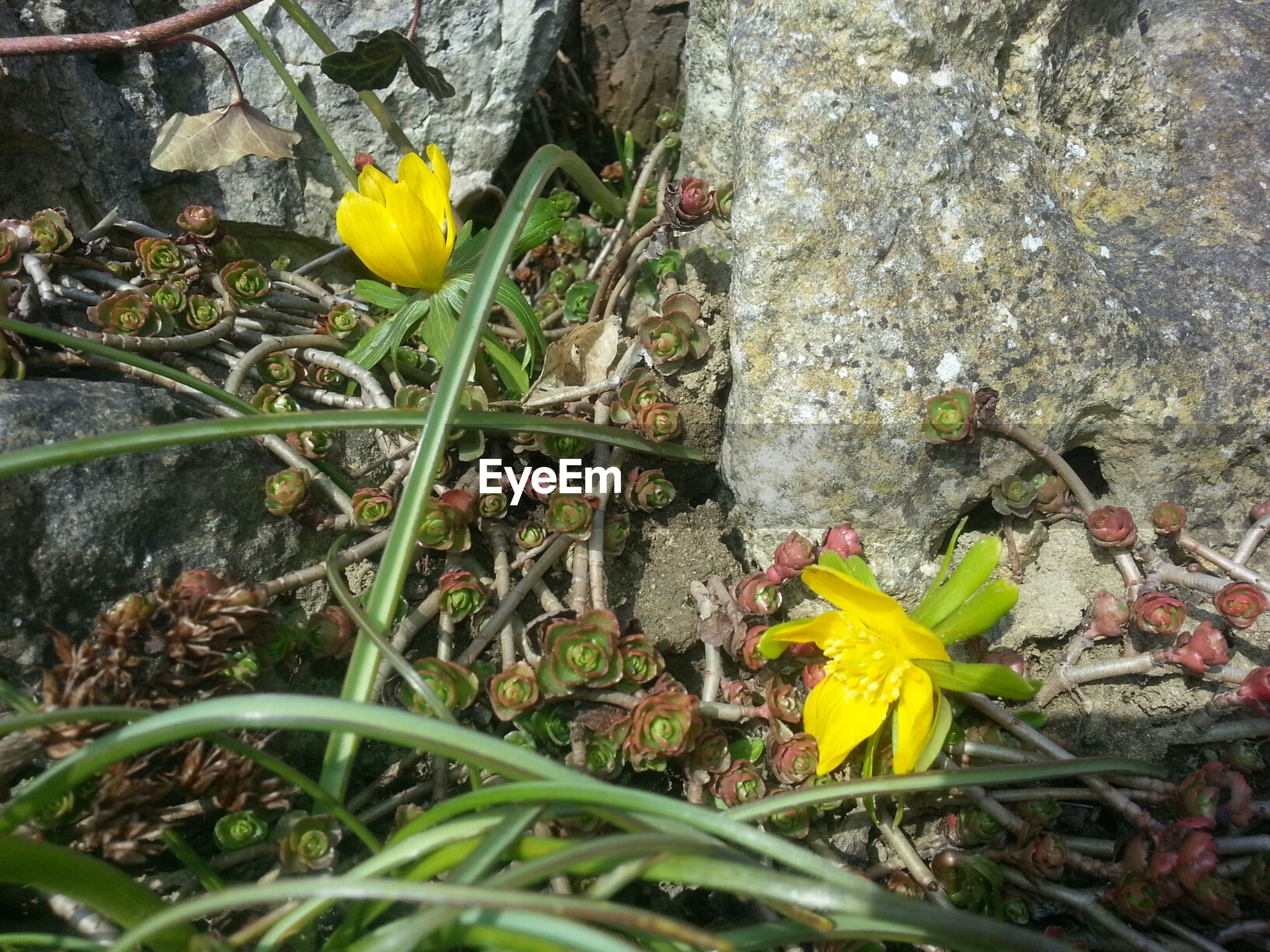 flower, growth, yellow, plant, fragility, nature, freshness, high angle view, beauty in nature, petal, leaf, close-up, field, day, rock - object, blooming, growing, no people, outdoors, flower head