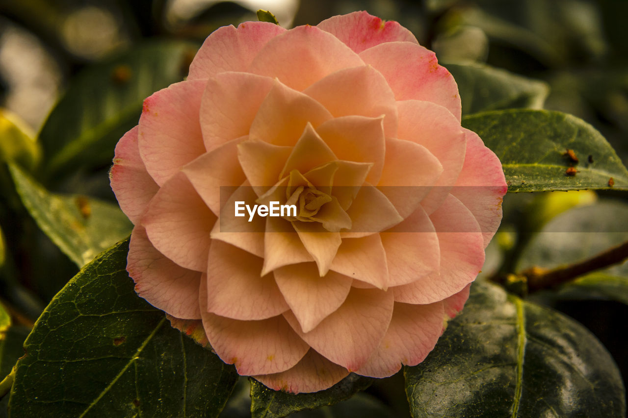 petal, flower, flower head, growth, plant, fragility, nature, beauty in nature, leaf, no people, close-up, pink color, day, outdoors, freshness, blooming