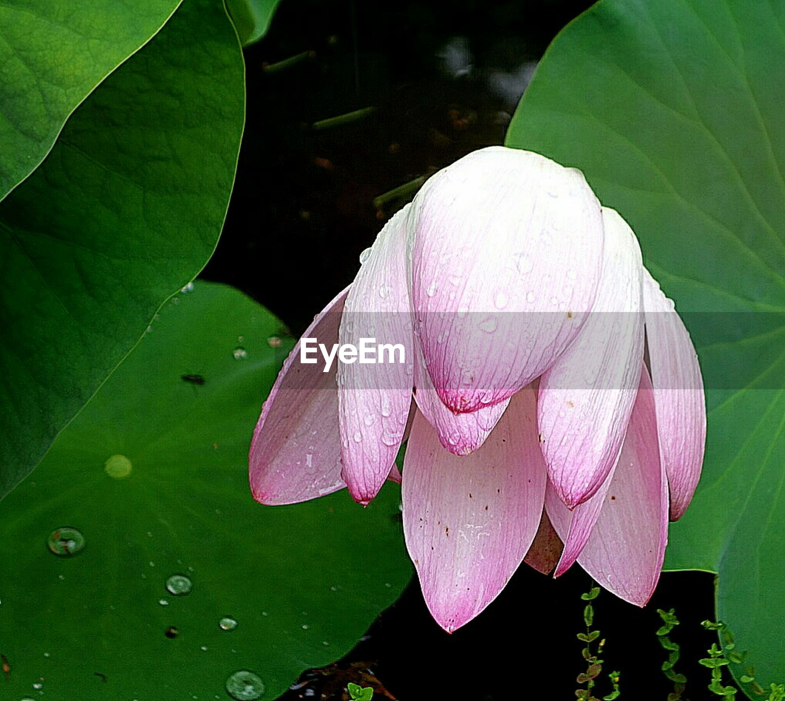 leaf, flower, fragility, petal, growth, freshness, beauty in nature, close-up, nature, flower head, plant, pink color, single flower, green color, high angle view, leaf vein, water lily, blooming, natural pattern, outdoors