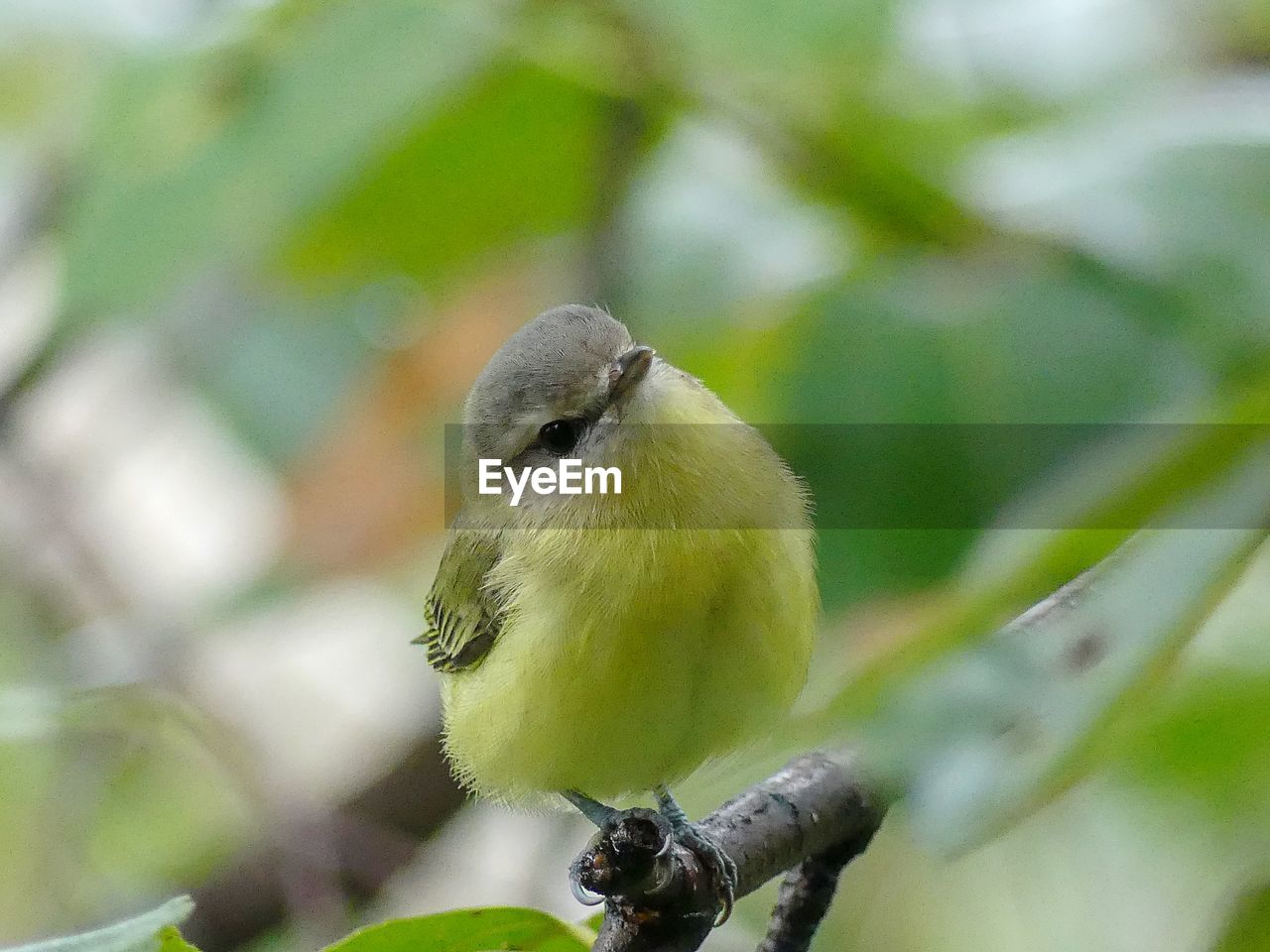 animal themes, bird, animal, animal wildlife, animals in the wild, one animal, vertebrate, perching, focus on foreground, no people, day, close-up, plant, nature, branch, tree, outdoors, bluetit, green color, twig