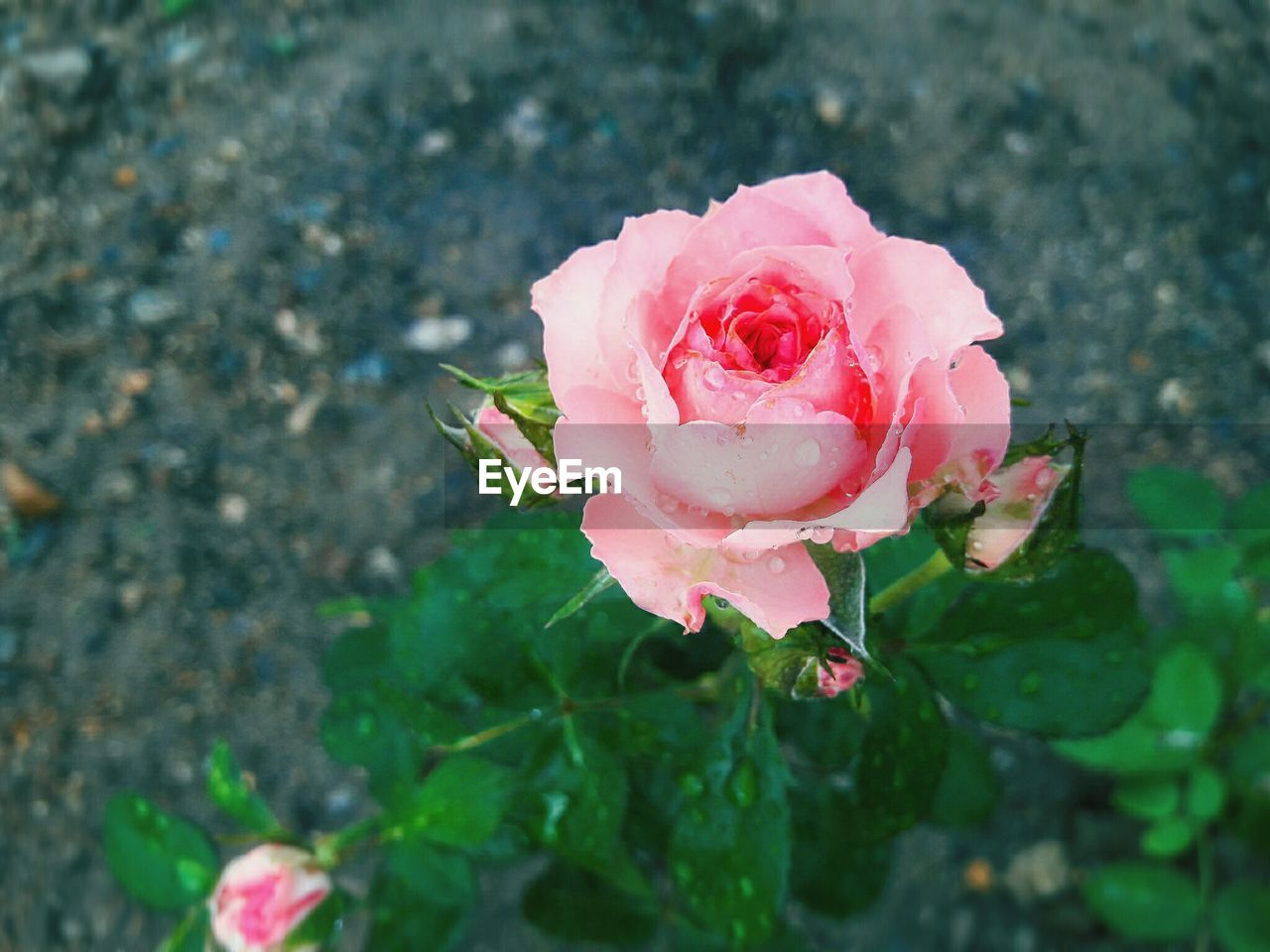 flower, rose - flower, petal, pink color, fragility, nature, flower head, growth, beauty in nature, plant, no people, freshness, blooming, outdoors, day, close-up, wild rose, leaf, water
