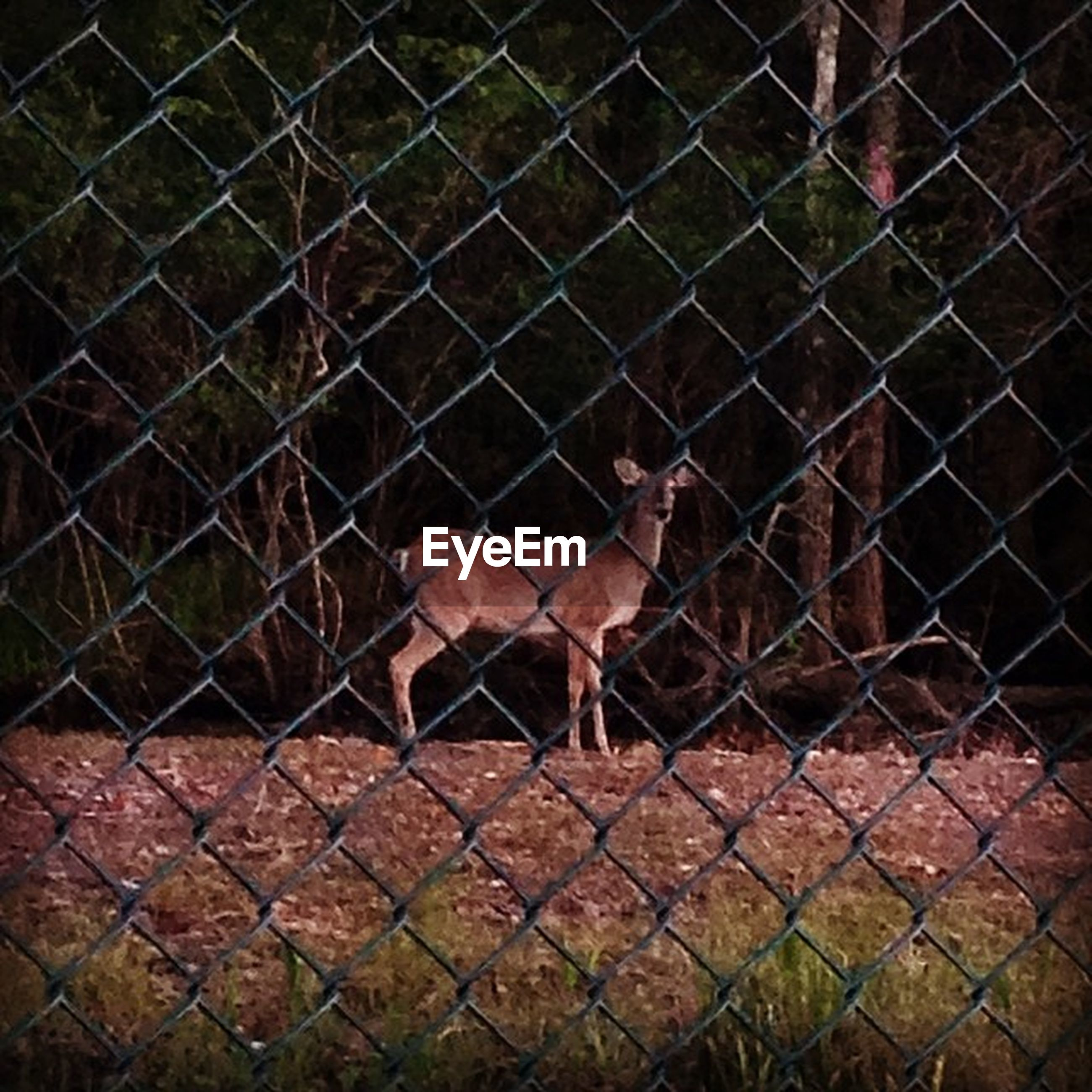 animal themes, fence, chainlink fence, one animal, mammal, protection, domestic animals, safety, metal, livestock, cage, wildlife, animals in captivity, animals in the wild, security, outdoors, no people, standing, day, metal grate