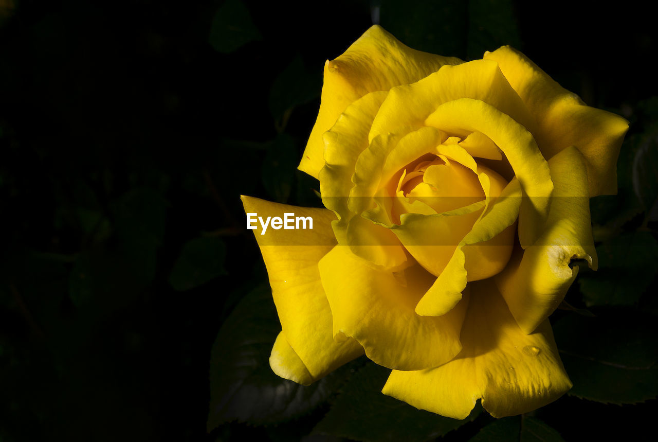 flower, petal, yellow, fragility, beauty in nature, nature, flower head, freshness, rose - flower, close-up, no people, growth, plant, outdoors, springtime, blooming, day