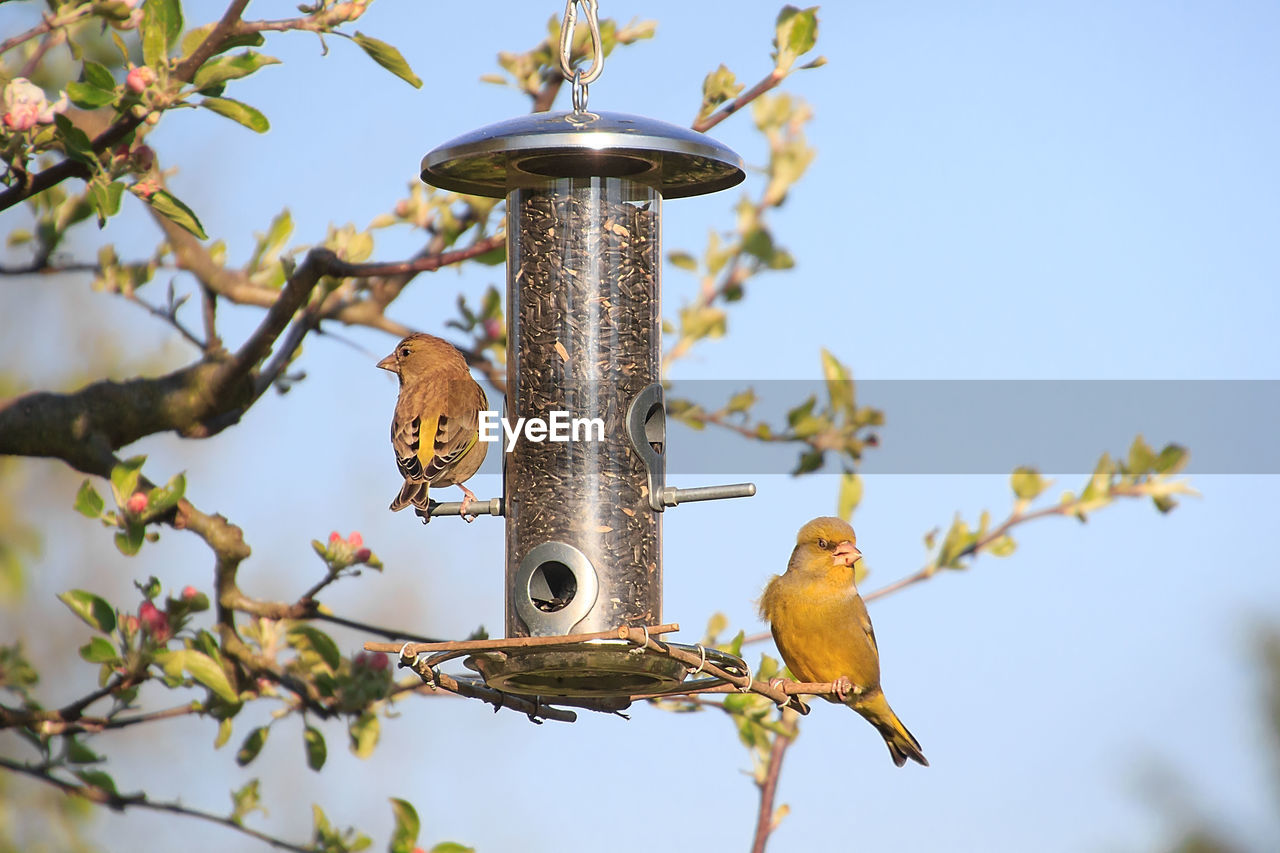 bird, vertebrate, animal themes, animal, animal wildlife, animals in the wild, perching, tree, sky, low angle view, group of animals, nature, focus on foreground, no people, branch, day, plant, outdoors, clear sky