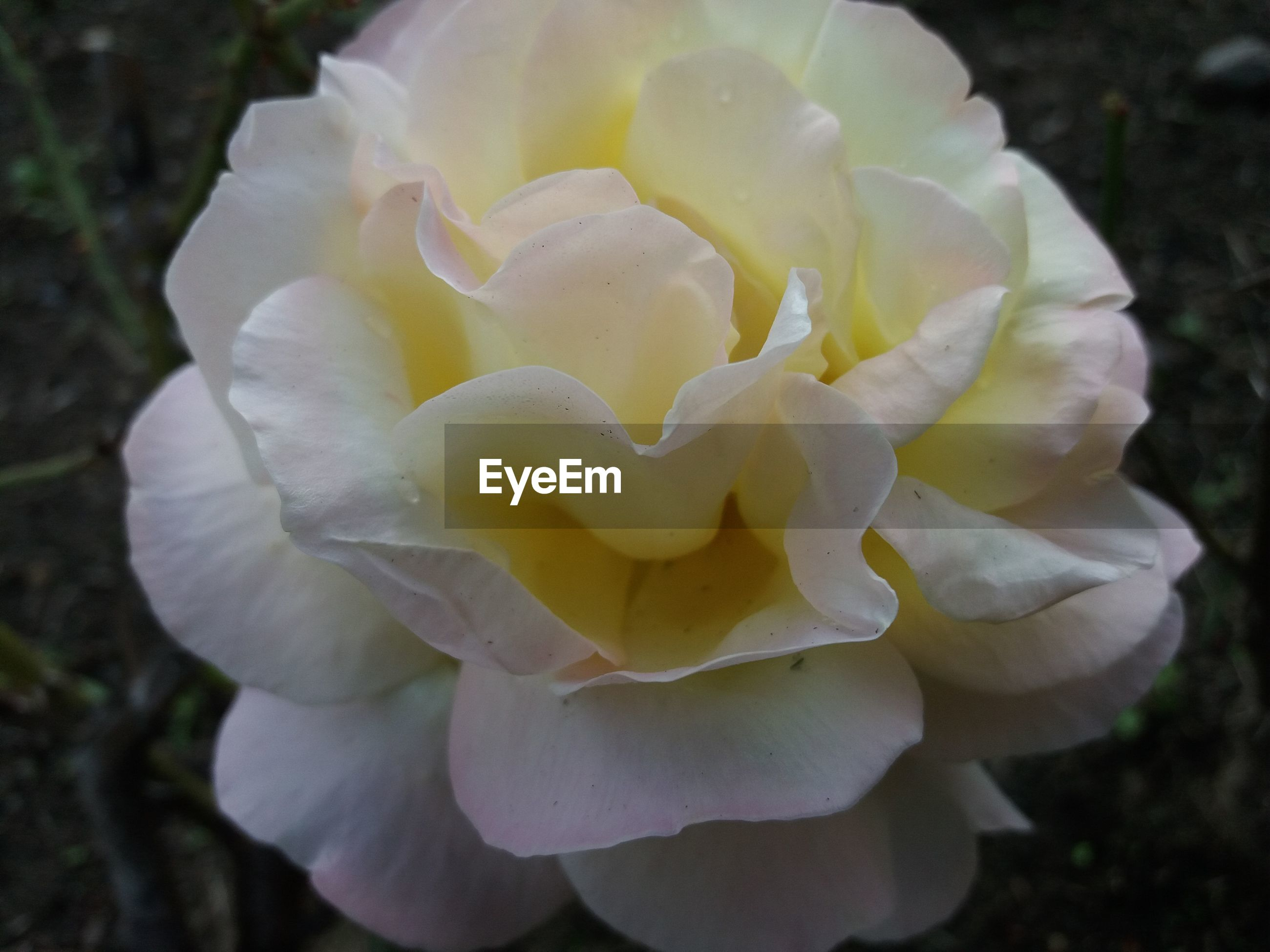 CLOSE-UP OF WHITE ROSE FLOWER BLOOMING OUTDOORS