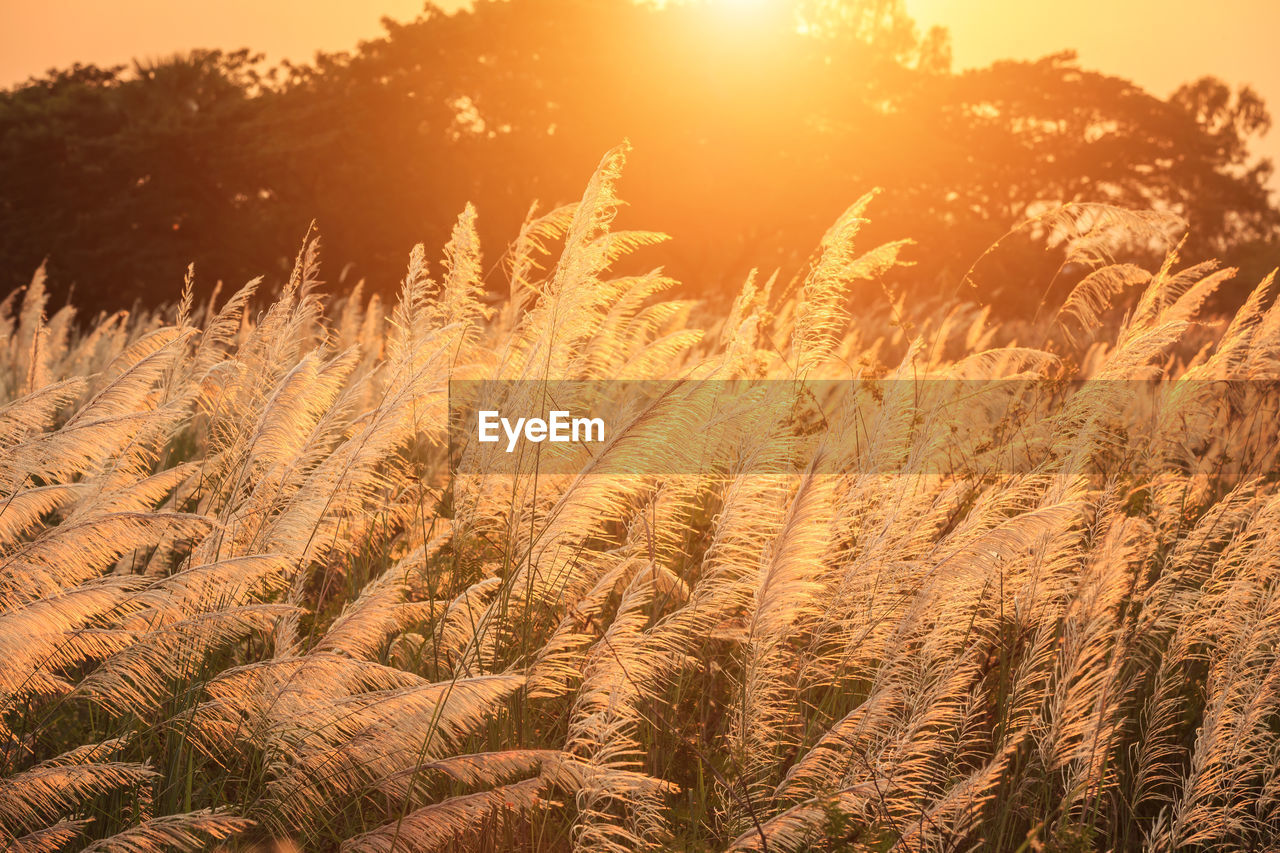plant, growth, beauty in nature, sunlight, land, nature, field, sunset, no people, tranquility, landscape, sky, scenics - nature, agriculture, crop, sun, day, farm, environment, sunbeam, lens flare, outdoors, bright, stalk