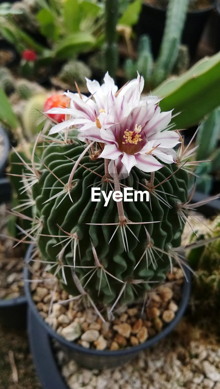 plant, growth, freshness, close-up, succulent plant, beauty in nature, flowering plant, flower, potted plant, vulnerability, fragility, cactus, nature, day, flower head, petal, no people, inflorescence, focus on foreground, botany, outdoors, flower pot, pollen