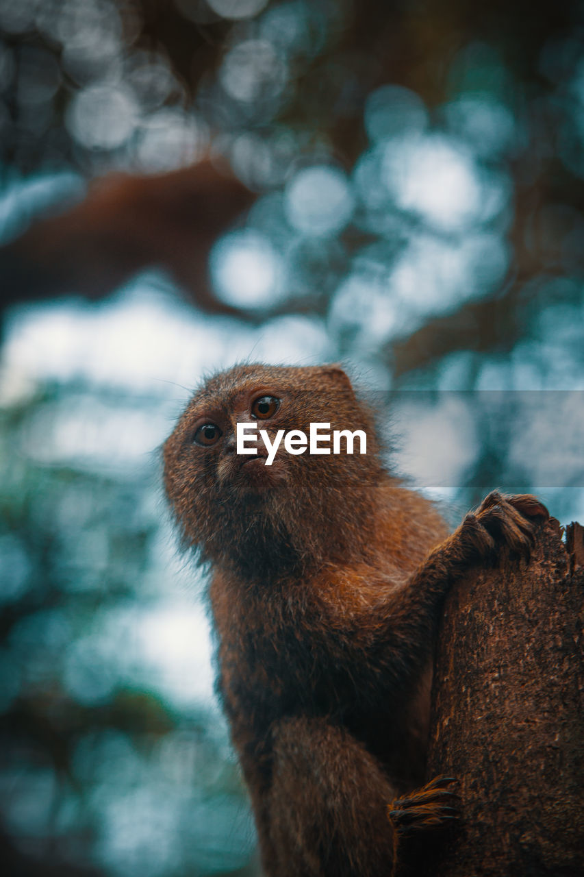 primate, monkey, animal, animal themes, animal wildlife, mammal, one animal, focus on foreground, animals in the wild, vertebrate, no people, tree, day, looking away, nature, looking, ape, sitting, brown, outdoors