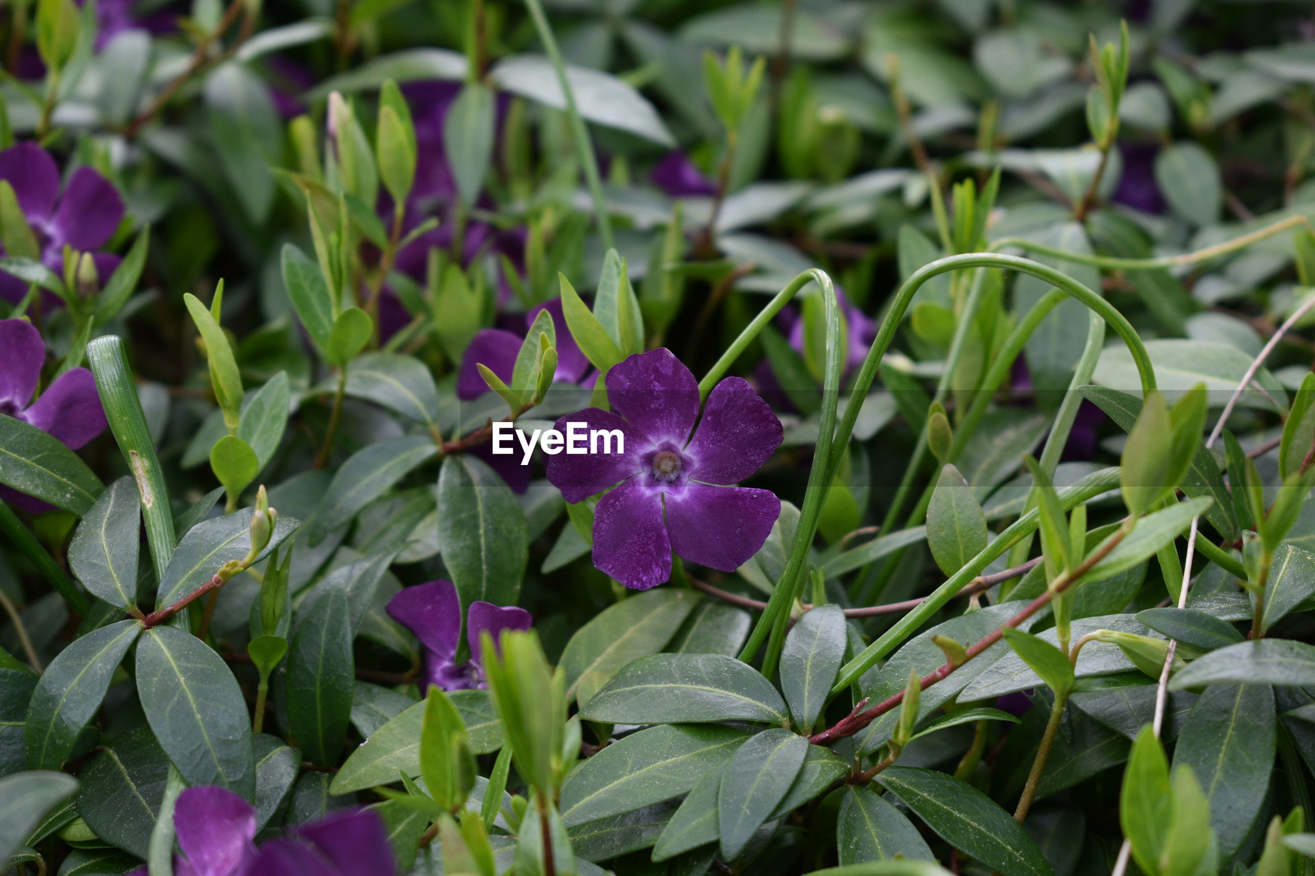 CLOSE UP OF PURPLE FLOWERING PLANTS