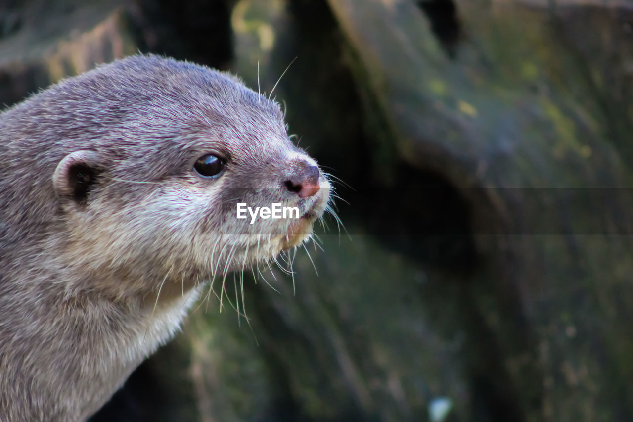 animal themes, animal, one animal, animal wildlife, mammal, close-up, animals in the wild, no people, focus on foreground, vertebrate, whisker, underwater, nature, day, otter, animal body part, outdoors, looking, animal head, rodent