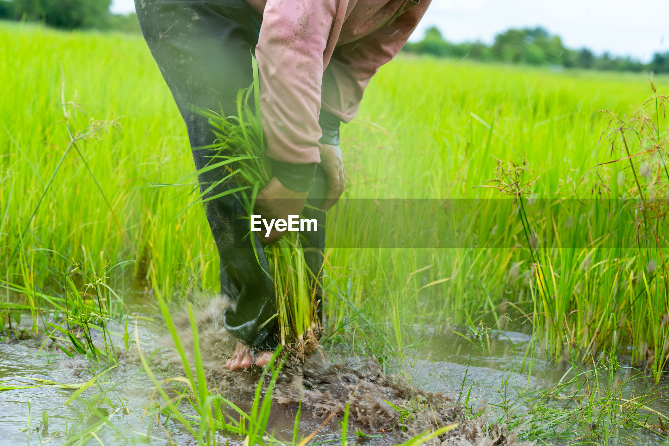 Low section of farmer working at rice paddy