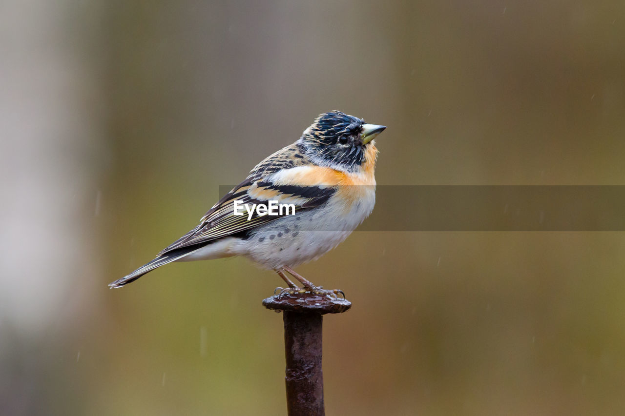 animal wildlife, animal themes, one animal, bird, vertebrate, animals in the wild, animal, perching, no people, day, close-up, focus on foreground, full length, wood - material, nature, outdoors, beauty in nature, selective focus, songbird, looking