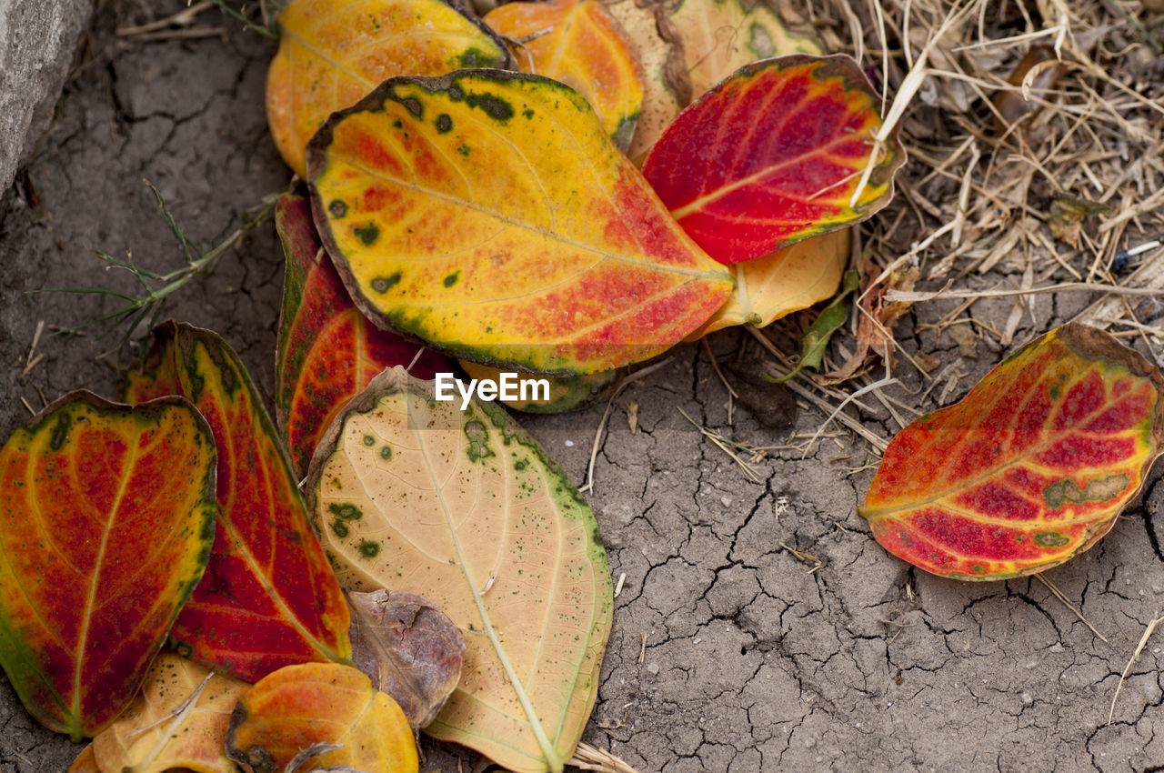 leaf, autumn, change, dry, nature, outdoors, no people, fruit, day, beauty in nature, close-up, freshness