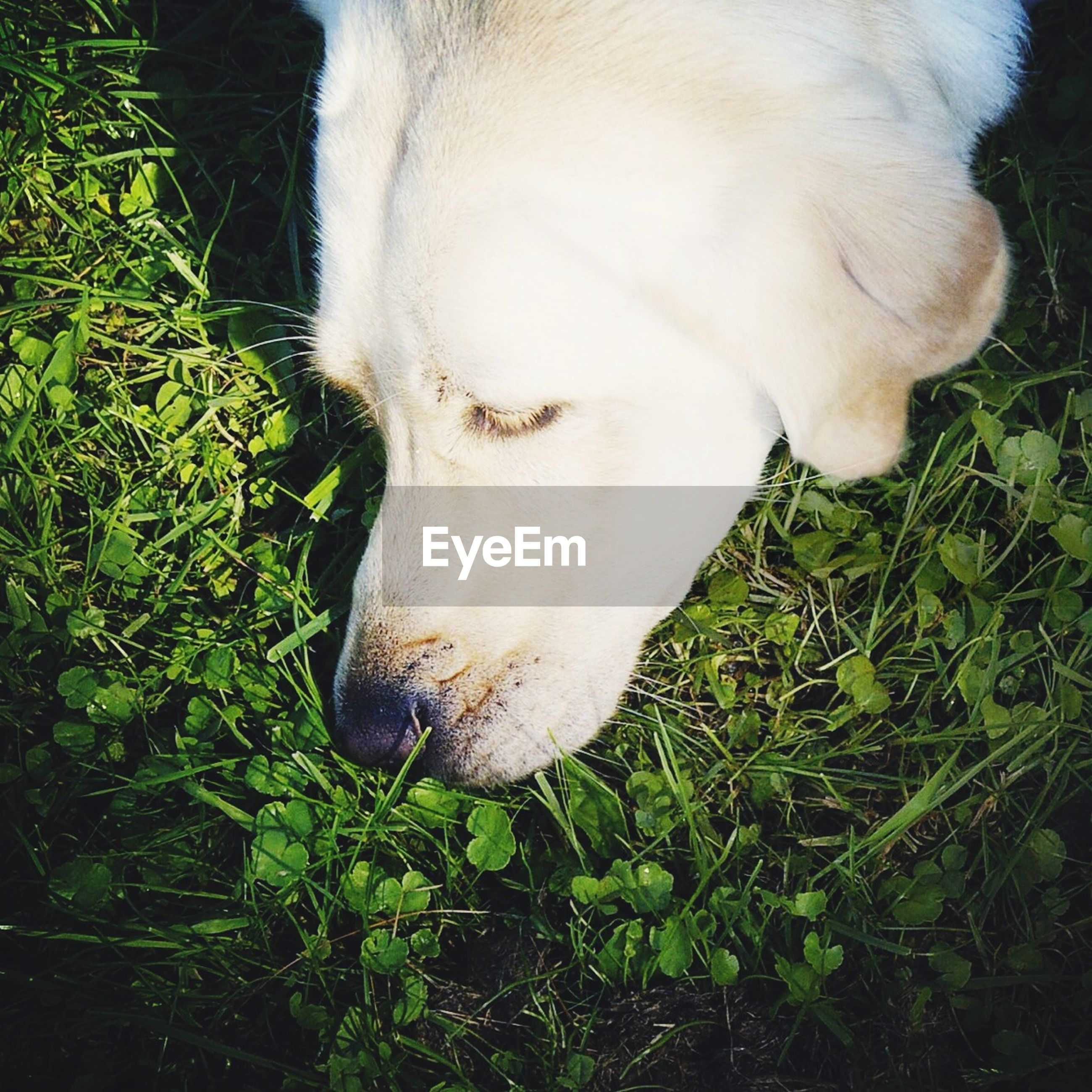 grass, field, domestic animals, grassy, close-up, one animal, animal themes, mammal, white color, dog, pets, high angle view, nature, day, standing, one person, outdoors, green color, animal head, relaxation