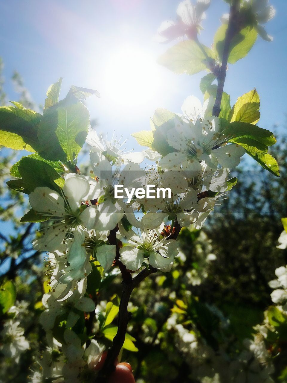 flower, fragility, blossom, growth, tree, apple tree, apple blossom, beauty in nature, freshness, springtime, nature, branch, botany, sunlight, orchard, white color, no people, low angle view, petal, day, close-up, stamen, outdoors, flower head, blooming, sky
