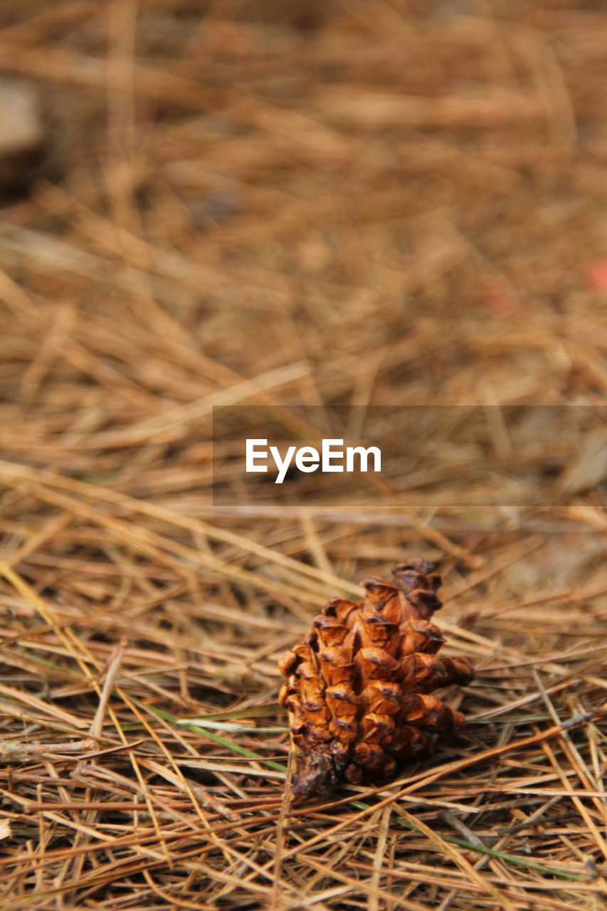 Close-up of pine cone on grass