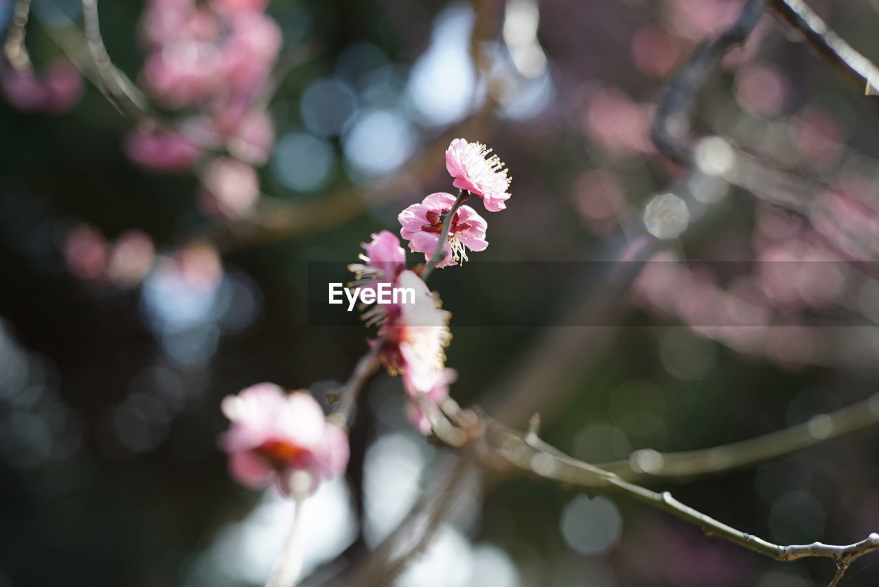 flower, fragility, growth, beauty in nature, nature, freshness, focus on foreground, day, pink color, springtime, petal, no people, outdoors, close-up, branch, tree, flower head, blooming