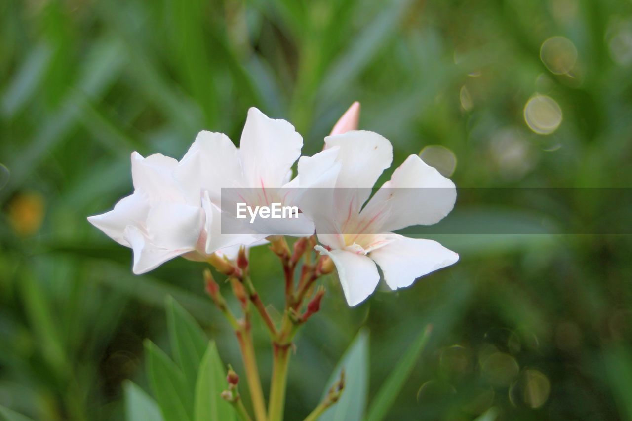 plant, freshness, beauty in nature, petal, flower, flowering plant, growth, fragility, vulnerability, white color, close-up, flower head, inflorescence, day, nature, focus on foreground, no people, selective focus, outdoors, green color