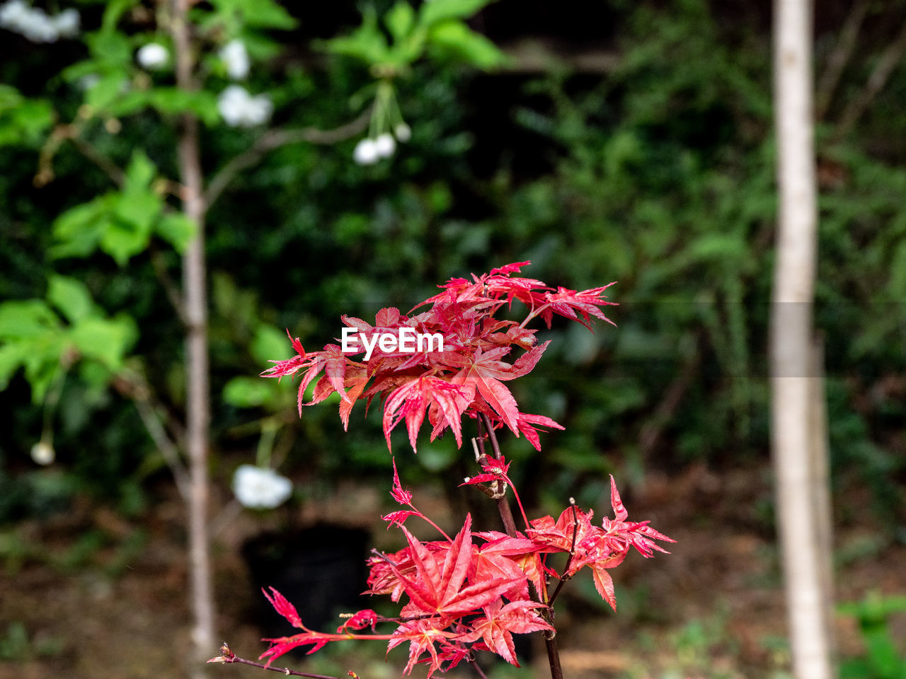 plant, flower, flowering plant, freshness, beauty in nature, vulnerability, fragility, focus on foreground, close-up, growth, petal, nature, inflorescence, day, flower head, no people, pink color, red, outdoors, plant part, pollen