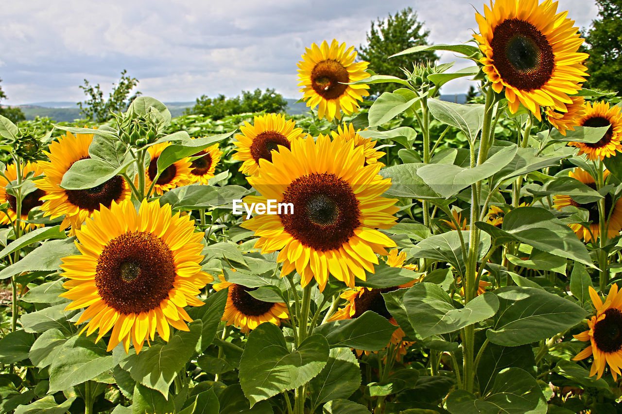 High Angle View Of Sunflowers Blooming On Field Against Sky