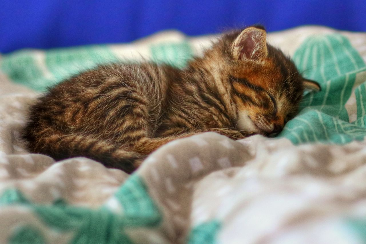 domestic, pets, mammal, cat, domestic cat, domestic animals, animal, feline, relaxation, animal themes, one animal, sleeping, furniture, vertebrate, bed, resting, selective focus, lying down, indoors, no people, whisker, napping
