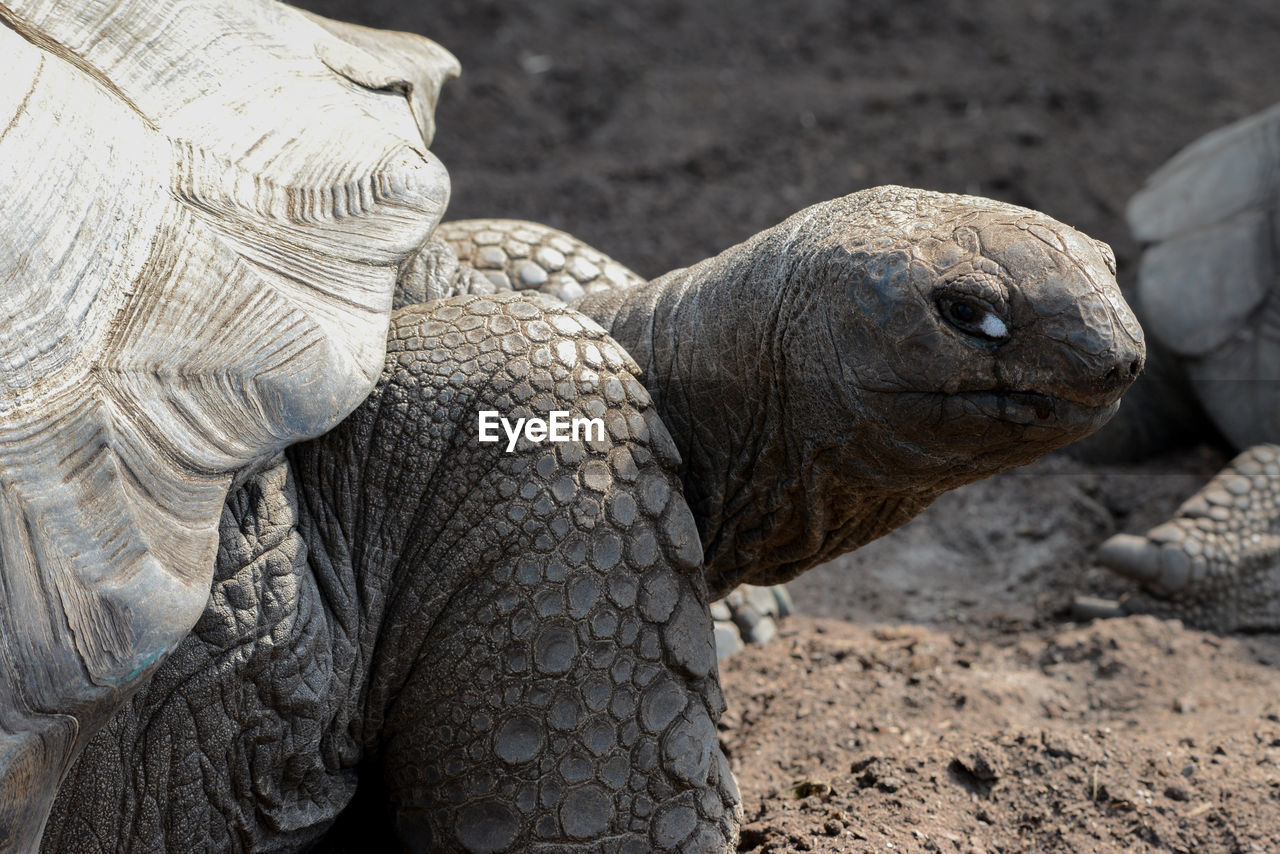 Close-Up Of Giant Tortoise On Field