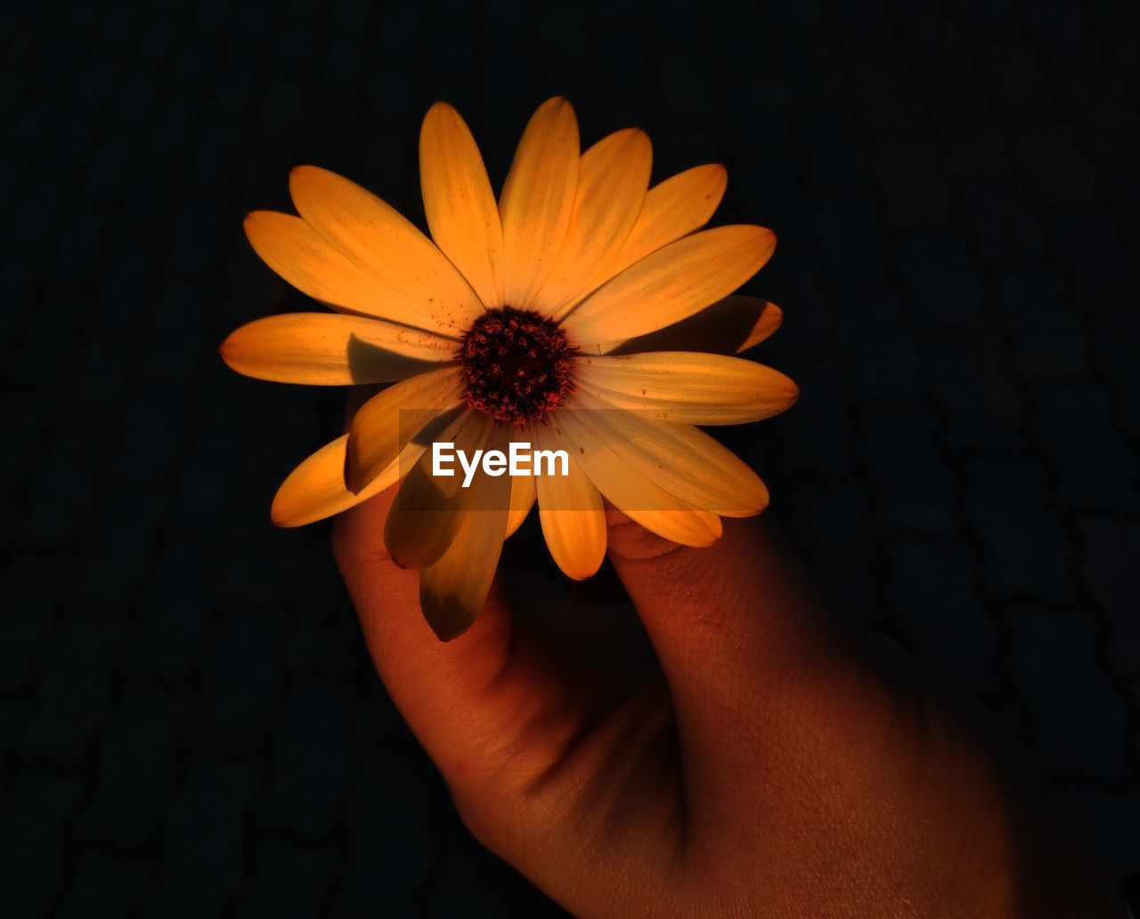 flower, flowering plant, human hand, one person, fragility, human body part, vulnerability, hand, freshness, close-up, flower head, inflorescence, petal, beauty in nature, holding, pollen, plant, real people, lifestyles, body part, finger, black background