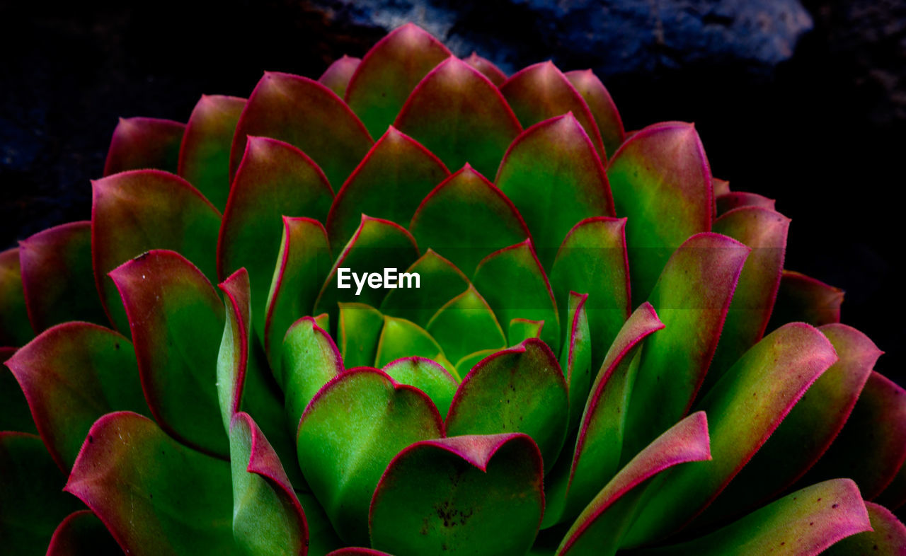 growth, plant, close-up, green color, beauty in nature, no people, succulent plant, nature, freshness, flower, cactus, flowering plant, day, natural pattern, inflorescence, botany, fragility, vulnerability, focus on foreground, leaf, flower head