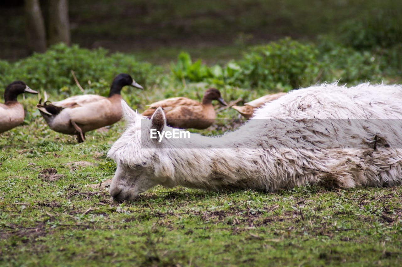 mammal, animal themes, animal, domestic animals, group of animals, livestock, grass, plant, domestic, sheep, vertebrate, pets, land, nature, field, selective focus, no people, day, animal wildlife, agriculture, herbivorous, animal family
