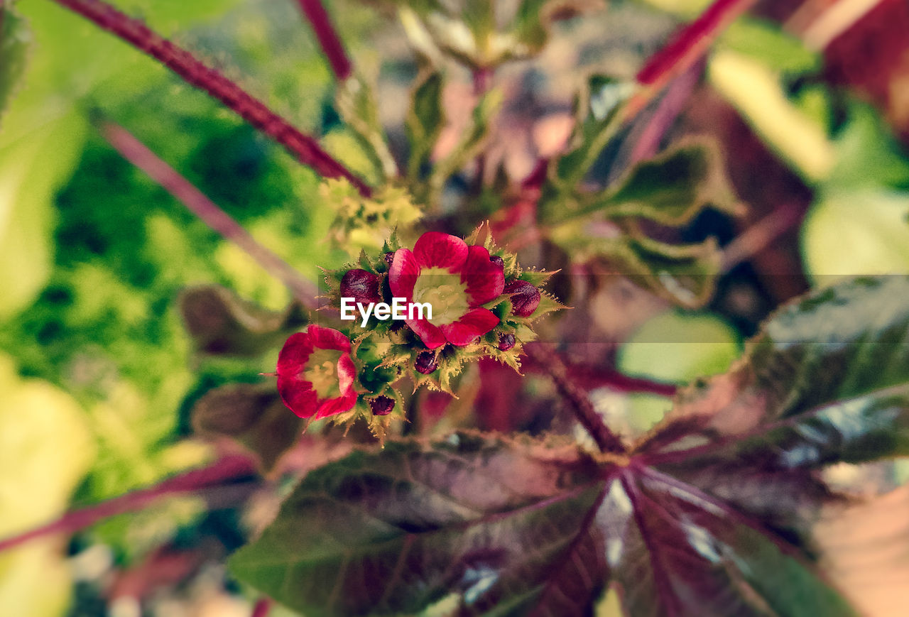 flower, growth, red, nature, plant, leaf, beauty in nature, day, no people, outdoors, close-up, freshness, fragility, flower head