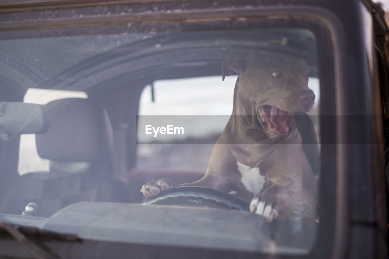 animal, animal themes, mammal, one animal, car, mouth open, mouth, domestic animals, motor vehicle, vertebrate, domestic, mode of transportation, pets, yawning, transportation, land vehicle, vehicle interior, no people, glass - material, window