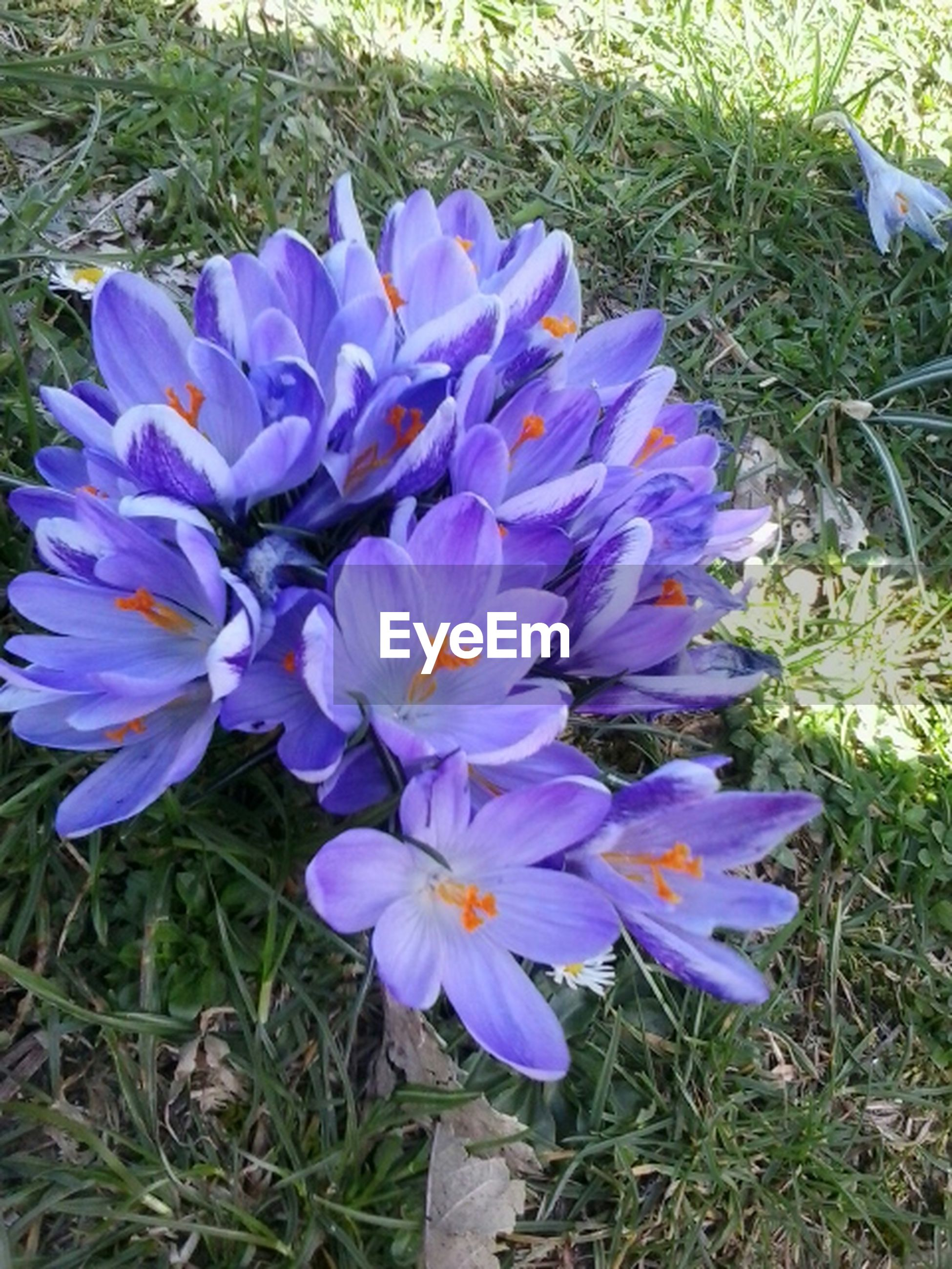 flower, petal, freshness, purple, flower head, fragility, growth, beauty in nature, high angle view, blooming, nature, field, plant, close-up, in bloom, blue, grass, day, no people, outdoors