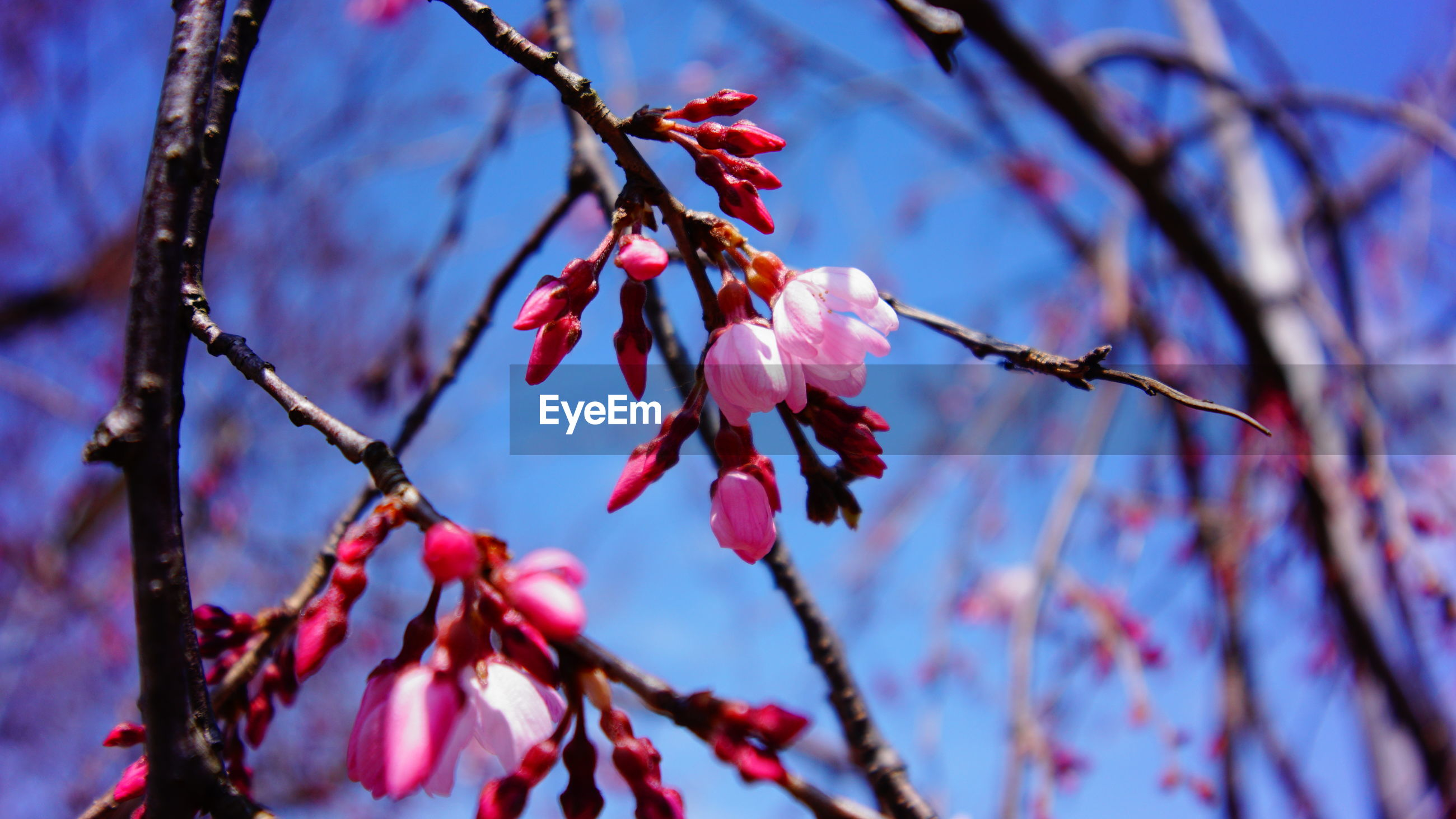 branch, tree, focus on foreground, growth, flower, close-up, twig, nature, beauty in nature, fragility, season, freshness, pink color, low angle view, blossom, selective focus, outdoors, sky, day, leaf
