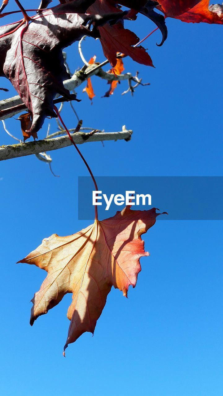 blue, low angle view, leaf, day, outdoors, no people, flying, clear sky, mid-air, tree, bat - animal, hanging, nature, maple leaf, branch, sky, fragility, beauty in nature, close-up