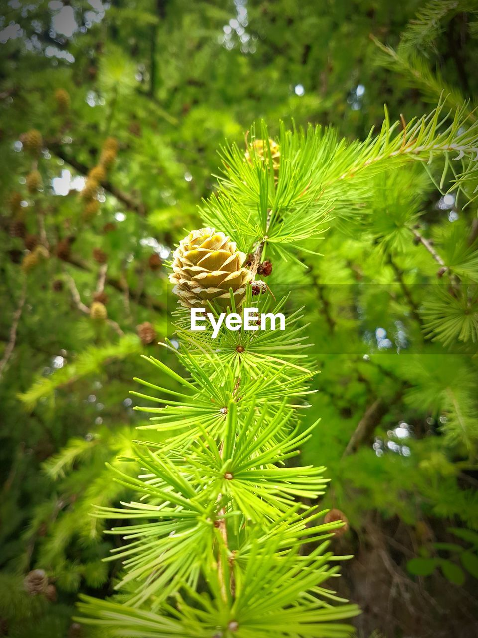 plant, green color, growth, beauty in nature, close-up, nature, tree, day, no people, focus on foreground, freshness, plant part, pine tree, selective focus, flower, leaf, outdoors, vulnerability, fragility, land, coniferous tree, needle - plant part