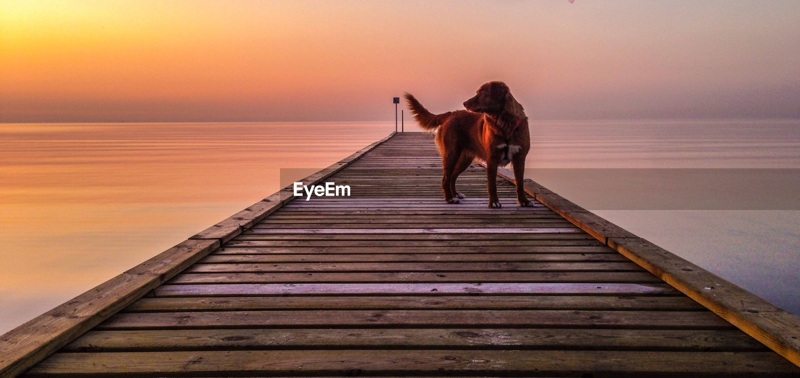 Dog standing on pier in sea at sunset