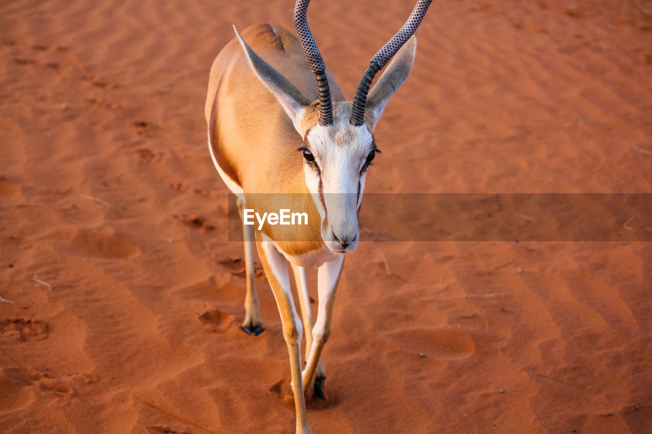 Close-up of antelope standing on sand