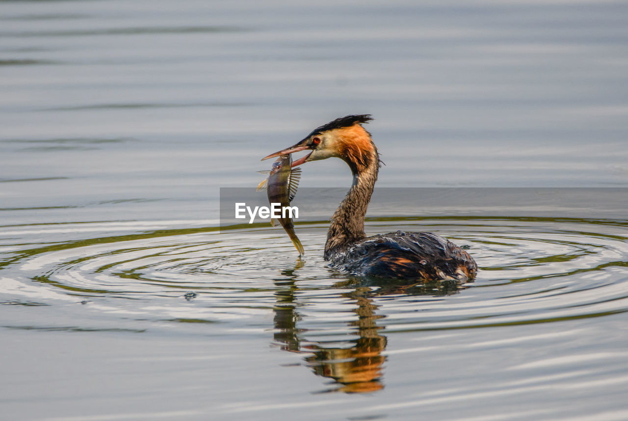 water, animal themes, animal, lake, waterfront, animal wildlife, animals in the wild, vertebrate, swimming, one animal, bird, no people, nature, day, rippled, reflection, outdoors, water bird
